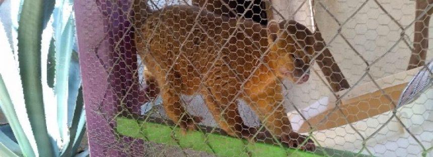 Rescatan un mico de noche en Chiapas