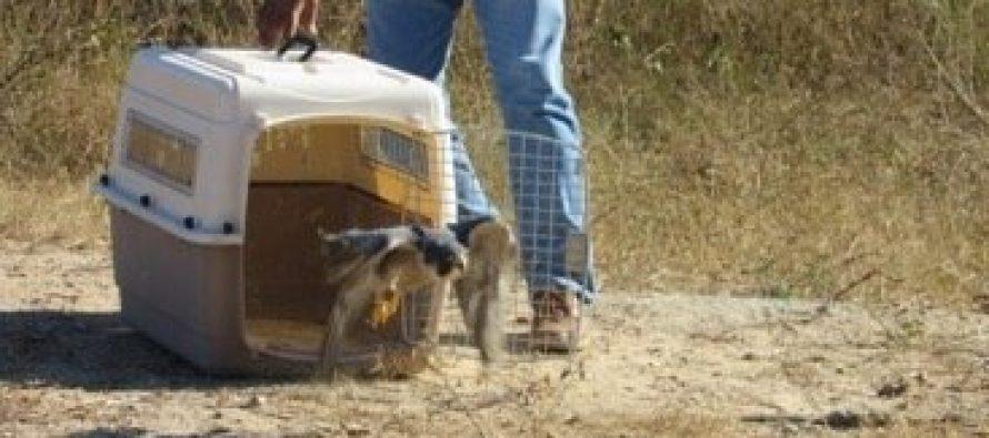 Halcón peregrino es liberado en su hábitat