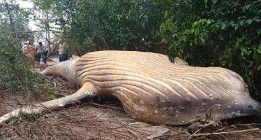 Ballena jorobada encontrada en tierra en Brasil