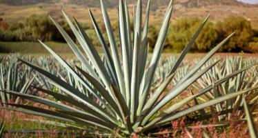 La producción y comercialización de bacanora como estrategia de desarrollo regional de la sierra sonorense