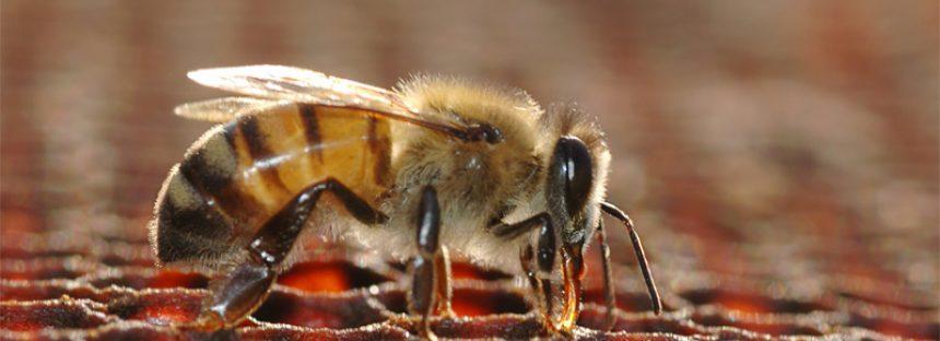 Más del 40% de las especies de insectos están en peligro de extinción