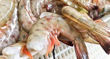 El Marine Stewardship Council (MSC) certificará la producción y captura sustentable de camarón en México