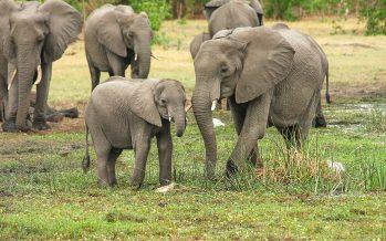 Se necesita algo más que tecnología para salvar a los elefantes