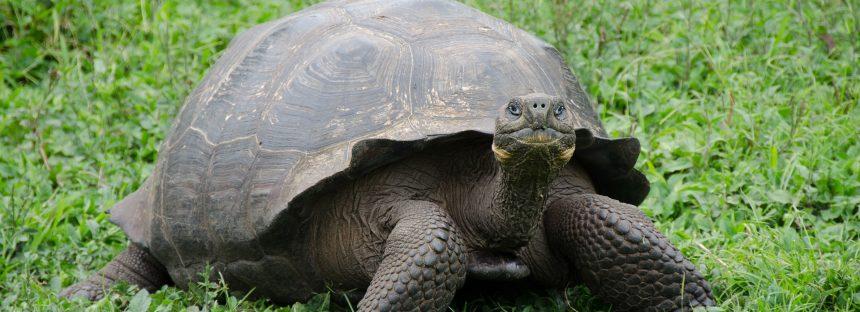 Tortuga de los Galápagos reaparece después de un siglo
