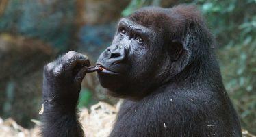 Los gorilas de llanuras son tolerantes y sociables