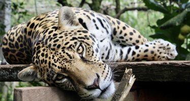 Proponen reconocer al jaguar como especie bandera de América