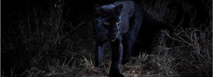 Un leopardo negro es captado en fotografía por primera vez en 100 años en África