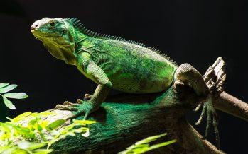 Las Islas Caimán quieren exterminar a un millón de iguanas verdes