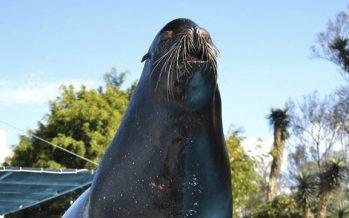 Muere el lobo marino Lobby a sus 21 años de edad