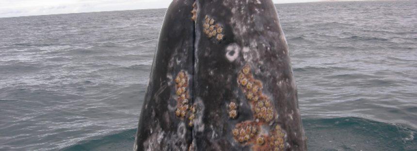 Estudian diversidad, abundancia y distribución de mamíferos marinos de Baja California