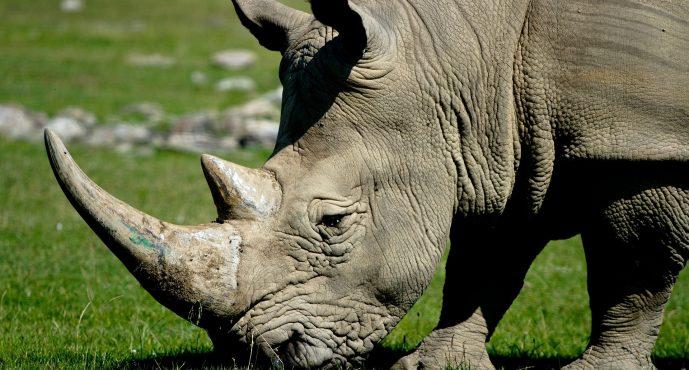 Los rinocerontes siguen en riesgo pese a que la caza furtiva disminuyó en Sudáfrica el año pasado