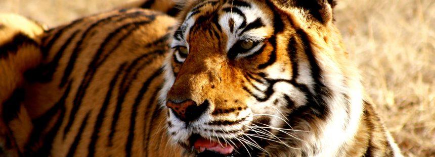 El cambio climático pone en peligro el hogar del tigre de Bengala