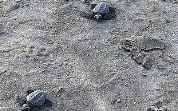 Liberan 420 crías de tortuga golfina en Acapulco