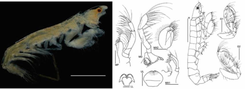 Gammaropsis elvirae, nueva especie de crustáceo descubierto en la plataforma de Yucatán en México