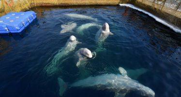 La 'cárcel' de ballenas del lejano Oriente ruso