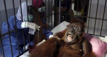 'Hope', la orangutana que sobrevivió a 74 disparos de perdigón en Indonesia