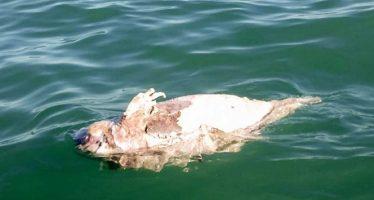 Aparece la primera vaquita marina muerta de 2019