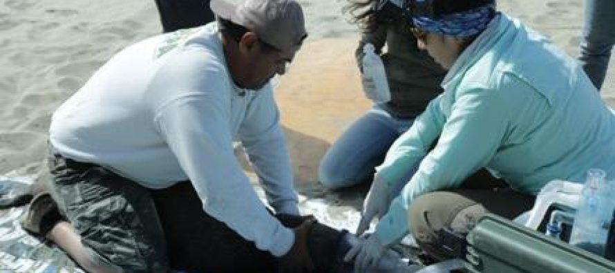 Atienden a lobo marino herido por un empaque plástico