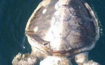 Contingencia por mortandad de tortugas marinas en playas de Guerrero
