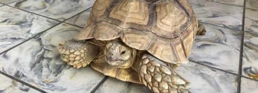 Aseguran 3 tortugas sulcatas en el aeropuerto internacional de la Paz, B.C.S.