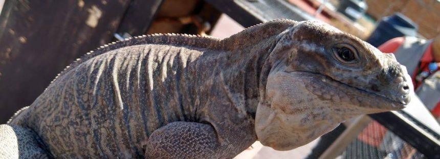 Aseguran de manera precautoria a dos iguanas rinoceronte
