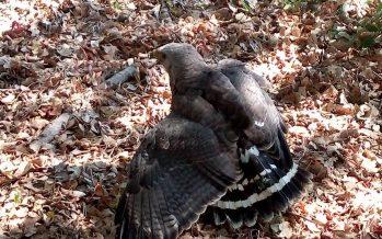 Liberan ejemplar de águila gris en su hábitat natural