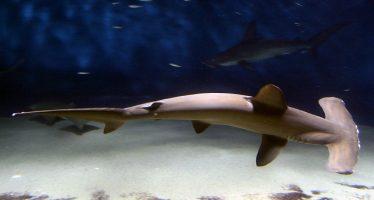 Descubren nueva área de cría de tiburón martillo en las Galápagos