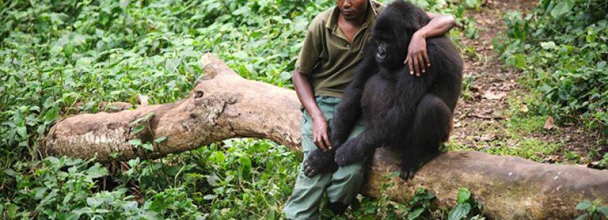 Un guardaparques consuela a gorila que perdió a su madre