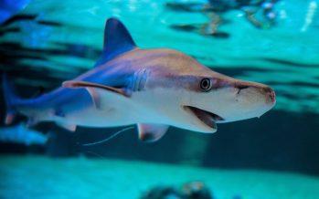 L'Oceanogràfic supera el centenar de tiburones