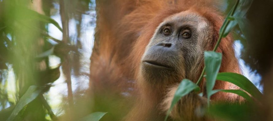La construcción de una presa pone en peligro de extinción a una especie de orangután recién descubierta