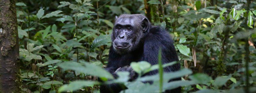 Los chimpancés tienen cultura y está en peligro