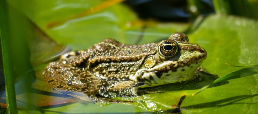 El hongo que está exterminando a las ranas