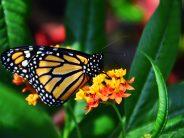 XXVII Festival de la mariposa monarca en Zitácuaro, Michoacán