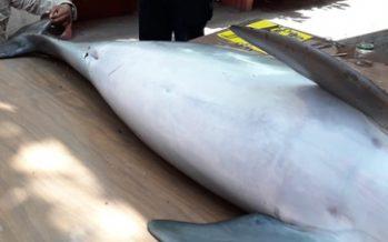Muere ahogada una hembra juvenil de delfín nariz de botella (Tursiops truncatus); presentaba lesiones de redes