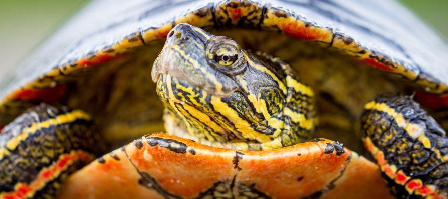 El cambio climático empuja a las tortugas a desaparecer por la escasez de machos
