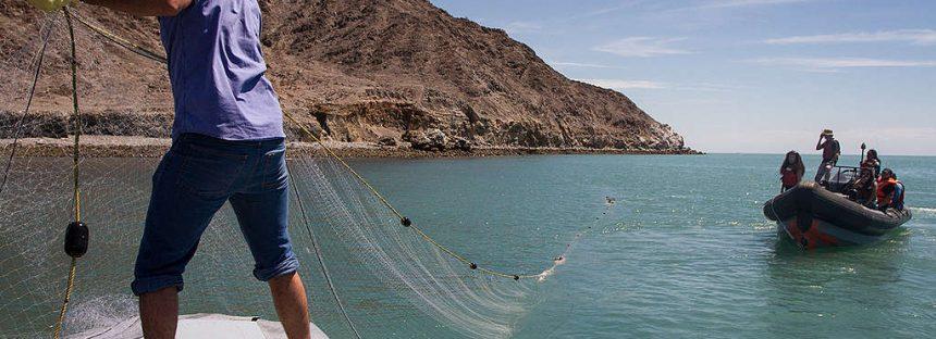 Gobierno Federal sin plan contundente para salvar a la vaquita marina
