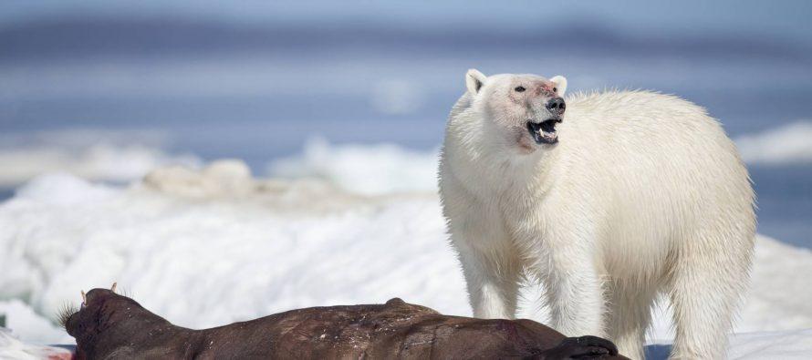 Los osos polares también comen plástico