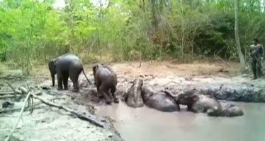 Rescatan a seis bebés de elefante de un estanque de barro en Tailandia