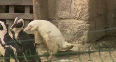 El único pingüino albino en cautividad del mundo debuta en un zoo de Polonia