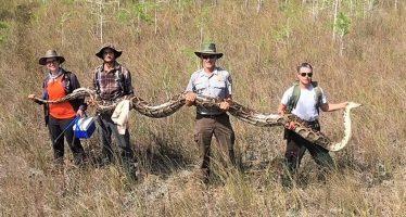 Una pitón de récord: 5,2 metros, 63 kilos y 73 huevos