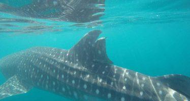 Presentan denuncia ante la FGR por daño a un tiburón ballena