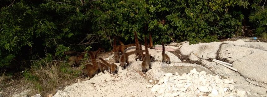 Matanza indiscriminada de coatis, tejones y mapaches en Cancún