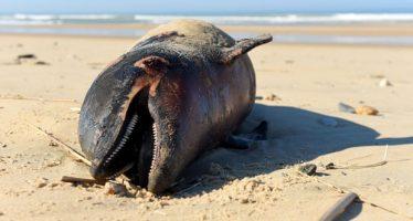 Delfines mutilados se lavan en la costa francesa en cifras récord