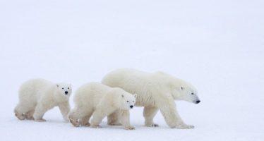 Por qué los osos polares son el 'canario' del Ártico
