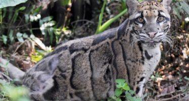 Reaparece leopardo nublado después de 30 años