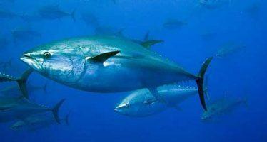 Entidades con cultivo de atún aleta azul