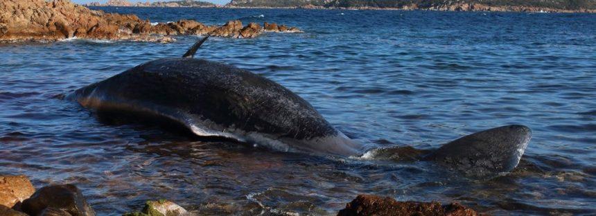 Encuentran ballena muerta con 22 kilos de plástico en el estómago