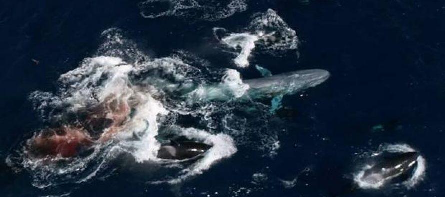 Atípico caso de depredación: un grupo de 60 orcas acaba con la vida del animal más grande de la Tierra