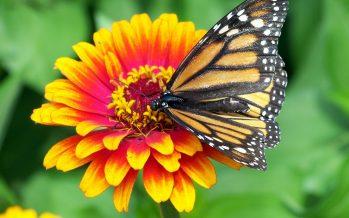 La migración masiva de la mariposa monarca, en peligro