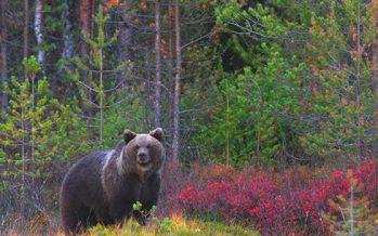 Así estrenan la primavera los osos pardos cantábricos